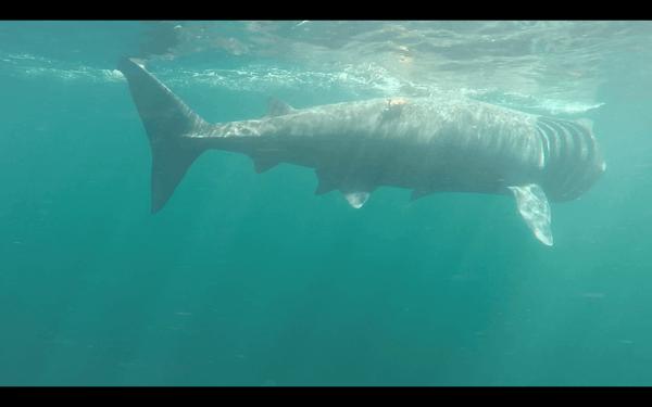 WTA - Basking Sharks